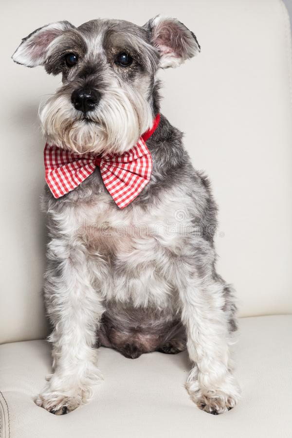 Tender pet - miniature Dog Schnauzer. The Schnauzer -pronunciado in German is a dog breed that originated in Germany during the XV and XVI centuries. Its name stock images