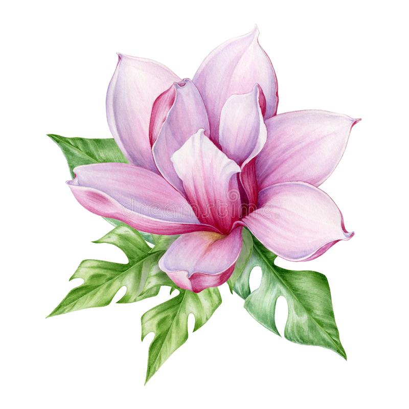 Tender pink magnolia flower with exotic tropical leaves watercolor illustration. Hand drawn lush spring blossom with fresh bright. Foliage. ready to print royalty free stock photo