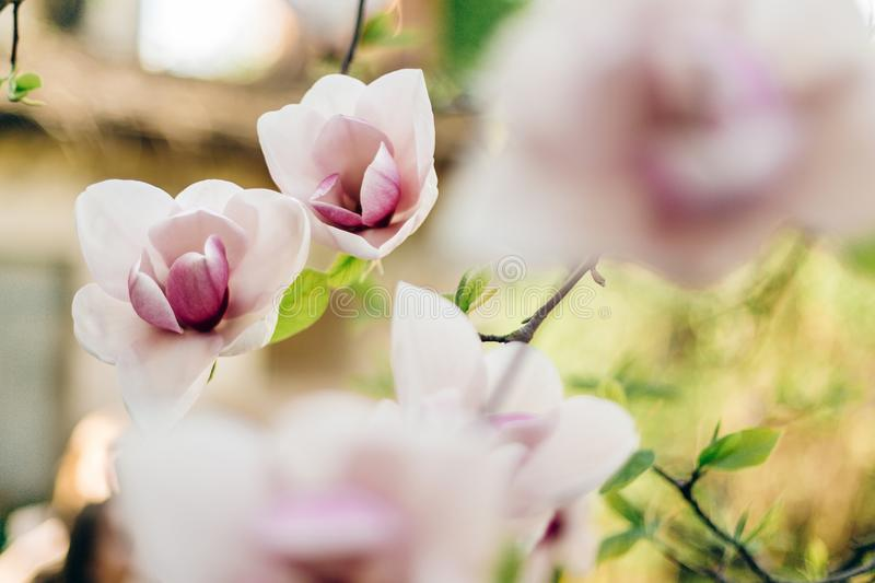 Tender pink magnolia flowers in sunlight in sunny park. beautiful trees blooming in botanical garden in spring. springtime. Amazing moment. environmental royalty free stock images