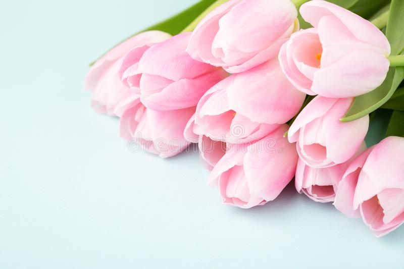 Pink tulips on blue background. royalty free stock image