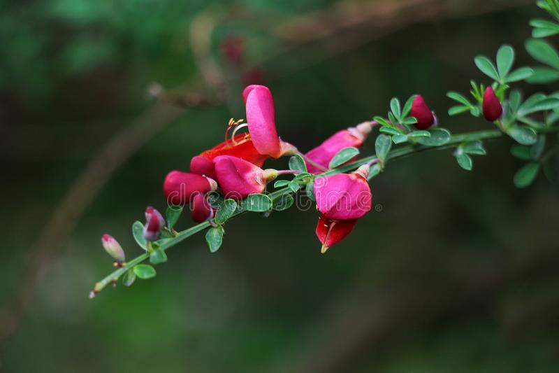 Tender red blossomed twig. On green blured background stock image