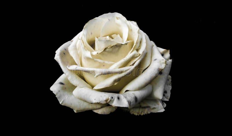 Tender rose royalty free stock image