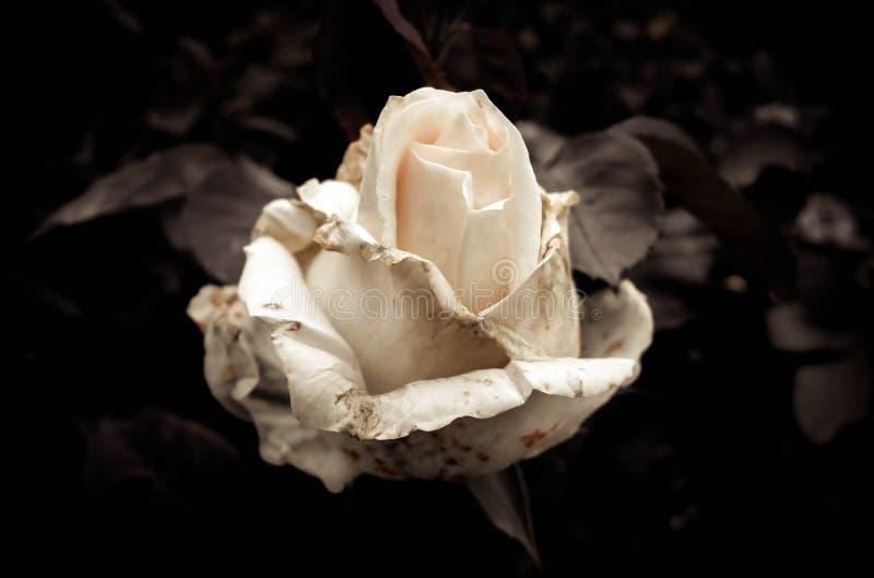 Tender rose stock photography