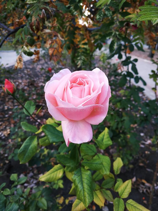 Tender rose. Delicate rose in the alley. Pink rose on a background of the autumn city. Autumn motives. Fading orange nature stock image