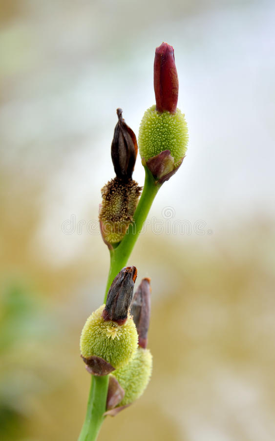 Download Tender Shoot Of Canna Stock Photo - Image: 33681160