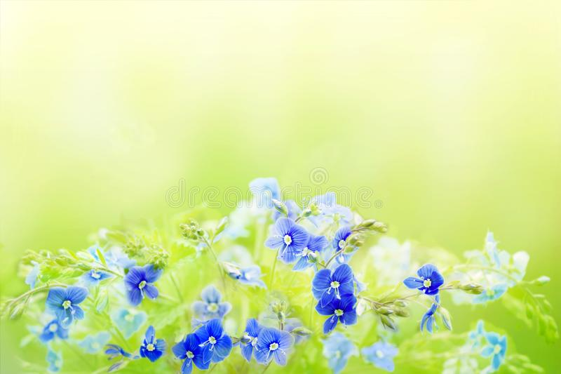 Tender spring floral background with blue Veronica Germander, Speedwell flowers. A bouquet of wild meadow or forest flowers. Selec stock image