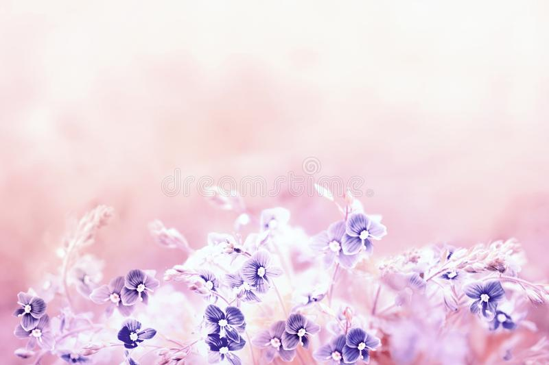 Tender spring floral background in light retro pink colour with blue Veronica Germander, Speedwell flower. A bouquet of wild meado. Tender spring floral royalty free stock image