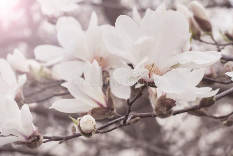 Tender spring flowers in high key. Blooming magnolia royalty free stock photo