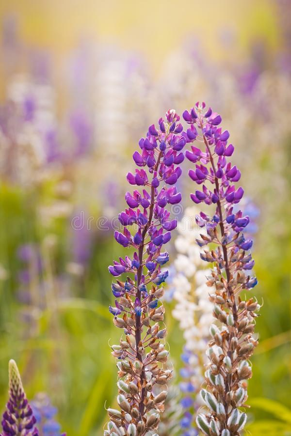 Tender violet, fuchsia and lilac flowers of lupinus, lupin or bluebonnets in warm rays of summer evening sun. Environmental colorful blur background royalty free stock photos