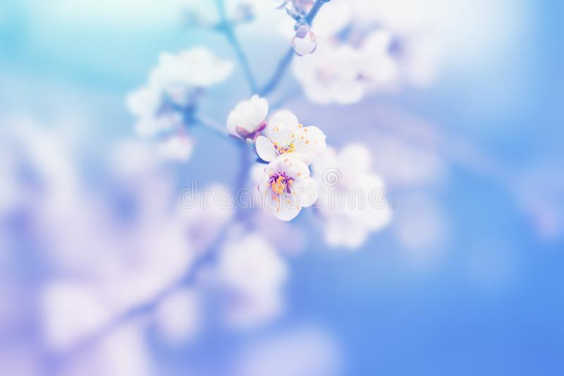 Tender white flowers of cherry tree blossom in spring nature stock photo
