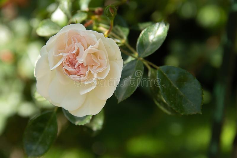 Tender white and pink rose in a summer garden royalty free stock image