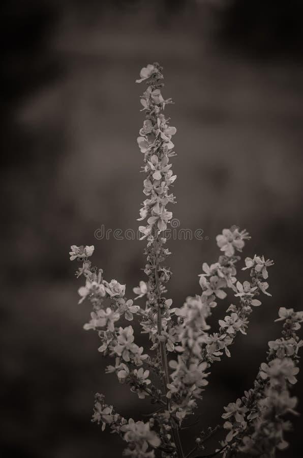 tenderloid普通的Agrimónia eupatória词根与花的 大在前景 r ?? 库存照片