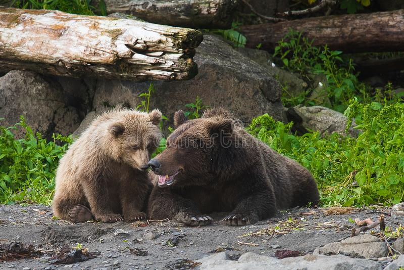 Tenderness - Grizzly mother with her cup. Alaska royalty free stock photos