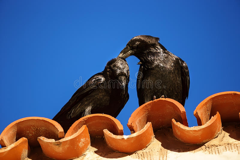 Tenderness between two ravens royalty free stock photography
