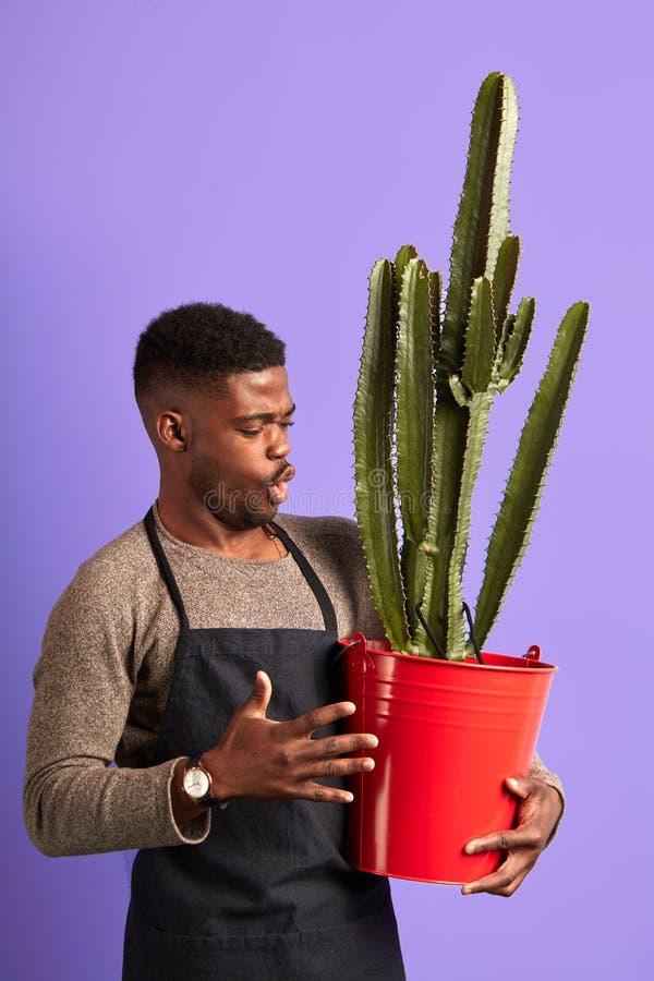 Tendero pelado oscuro orgulloso en el delantal, mirando la planta grande en pote rojo en p?rpura fotografía de archivo libre de regalías