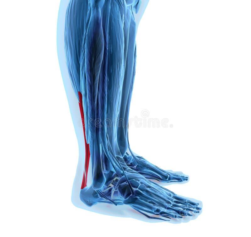 Tendine di Achille con i muscoli più bassi della gamba illustrazione vettoriale