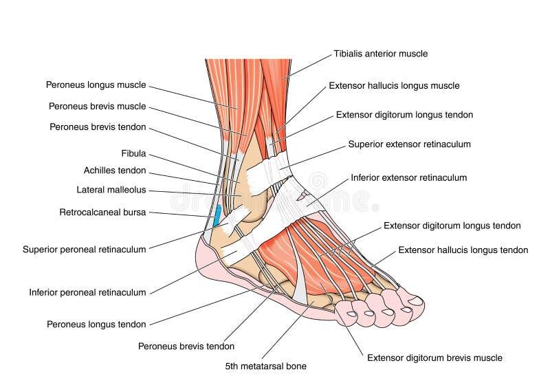 Tendones del pie libre illustration