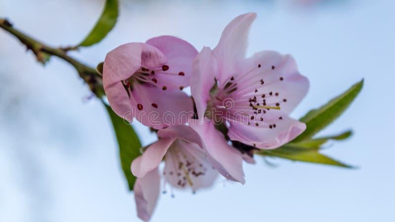 Tendresse rose photo stock