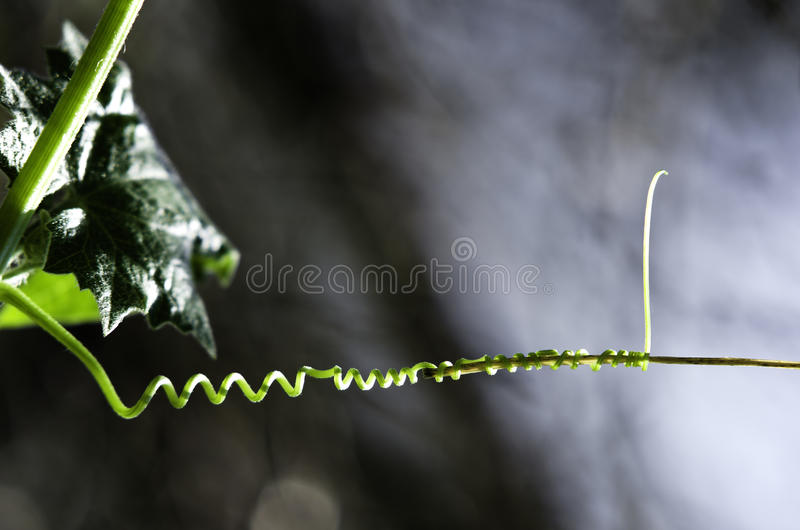 Tendril obraz royalty free