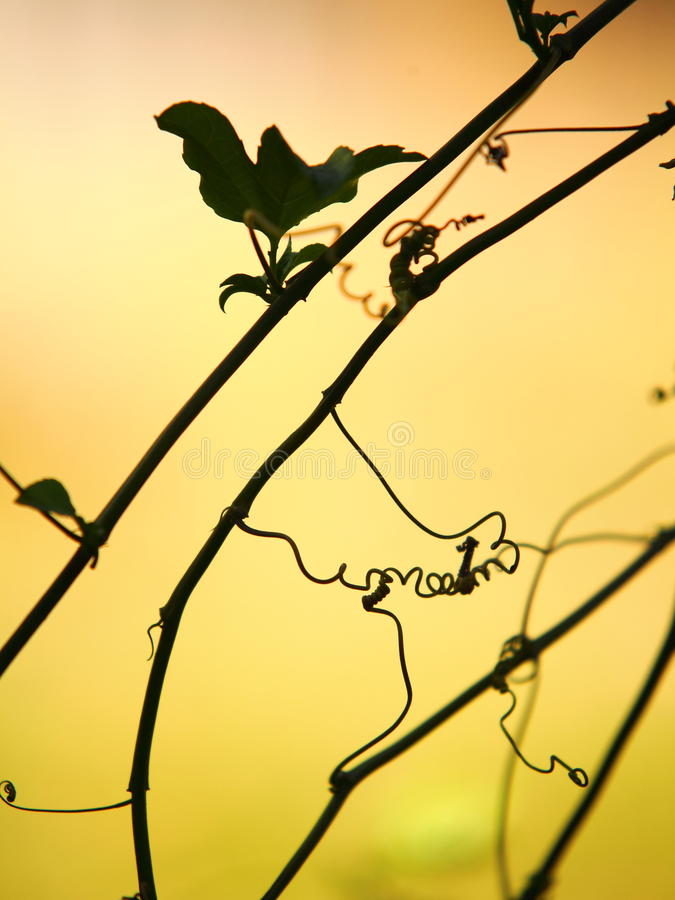 Tendril silhouetted against yellow sunset sky royalty free stock images