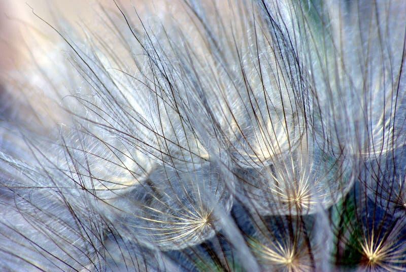 tendrils гиганта одуванчика стоковое фото rf