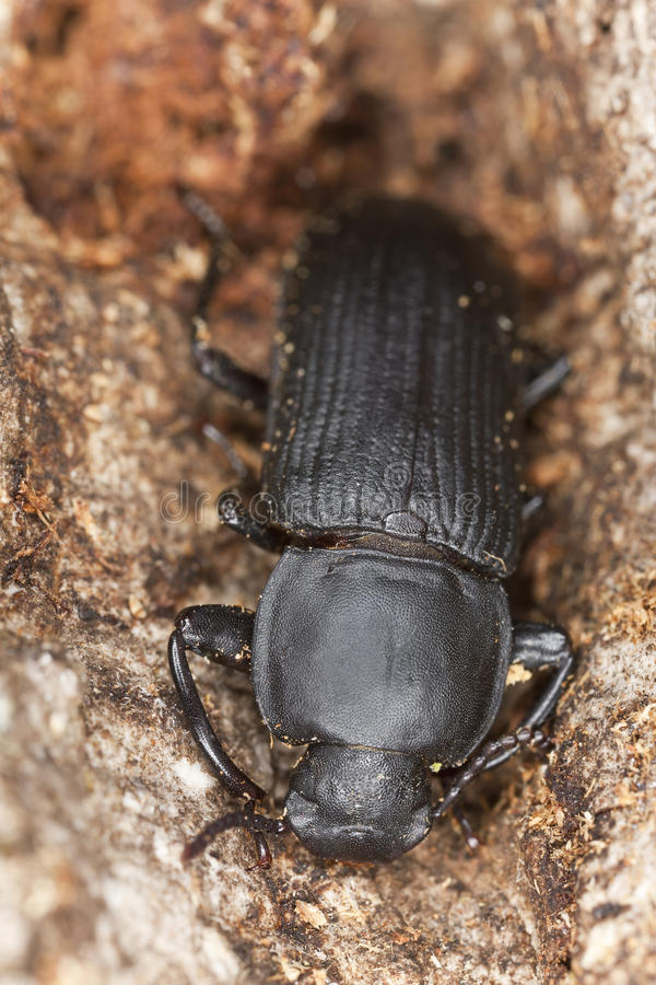 tenebrio opacus mealworm жука стоковое изображение