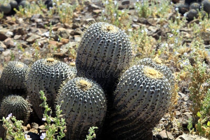 Tenebrosa de Copiapoa do cacto no litoral do deserto de Atacama em Pan de Azucar fotografia de stock royalty free