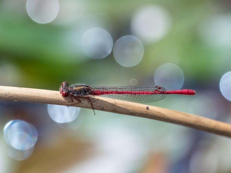 Tenellum vermelho pequeno de Ceriagrion do Damselfly empoleirado imagem de stock royalty free