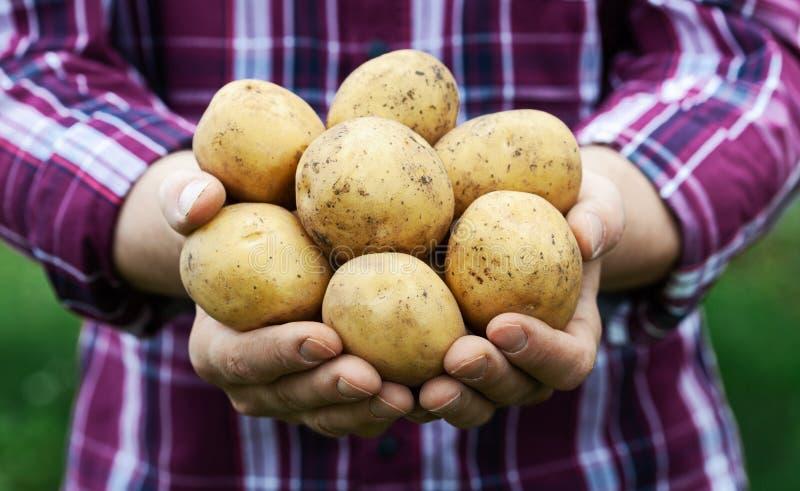 Tenencia del granjero en productos de la patata de las manos en fondo verde de la naturaleza Agricultura biol?gica fotos de archivo