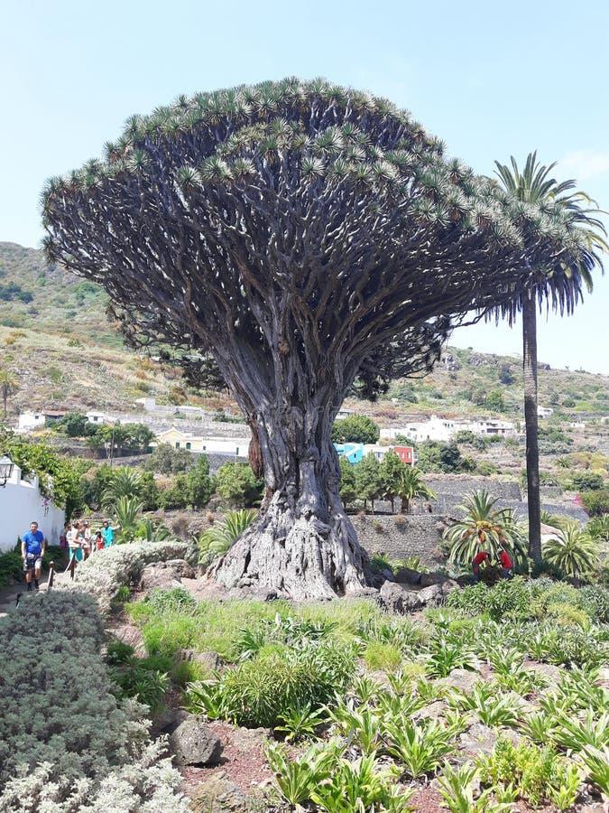 Tenerife, Drago Milenario, imagen de archivo