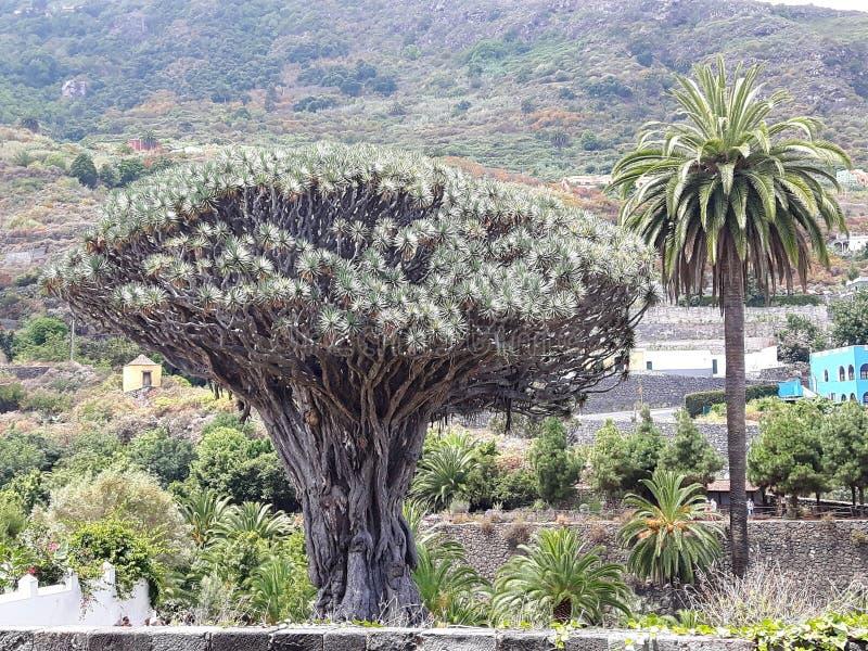 Tenerife, Drago Milenario, imagenes de archivo