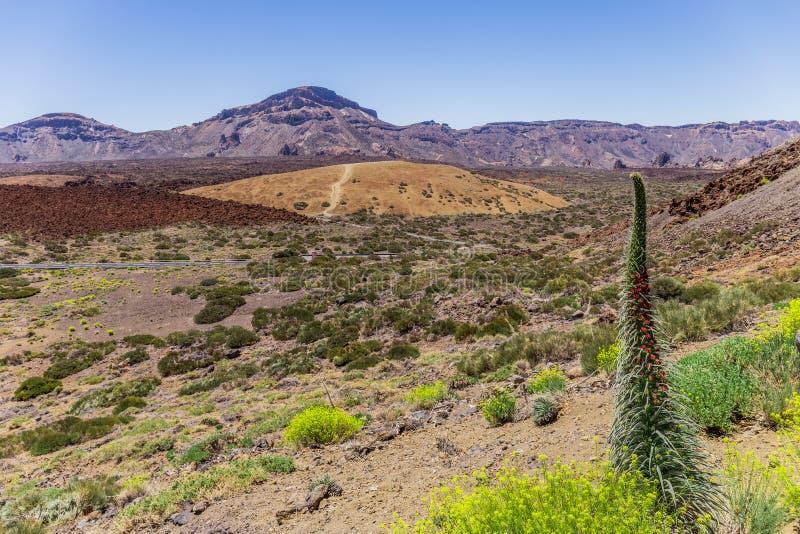 Tenerife farbownika Echium wildpretii, czerwoni kwiaty, Teide park narodowy, Powulkaniczna dolina, Tenerife, wyspy kanaryjska, Hi zdjęcia stock
