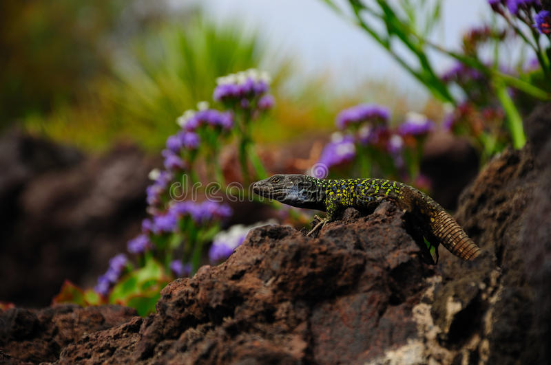 Tenerife Lizard. The Tenerife Lizard is also called Western Canaries Lizard. This species lives in the north of tenerife. This one i can photograph on the lava stock image