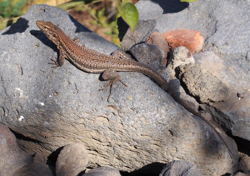 Tenerife lizard basking on a rock in sunshine royalty free stock photos