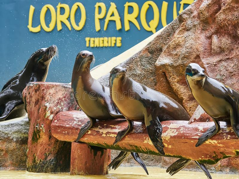 Tenerife, SPAIN - FEBRUARY 3, 2019: Sea lions show at the Loro Park Loro Parque, Tenerife. Tenerife, SPAIN - FEBRUARY 3, 2019: Sea lions show at the Loro Park royalty free stock photography