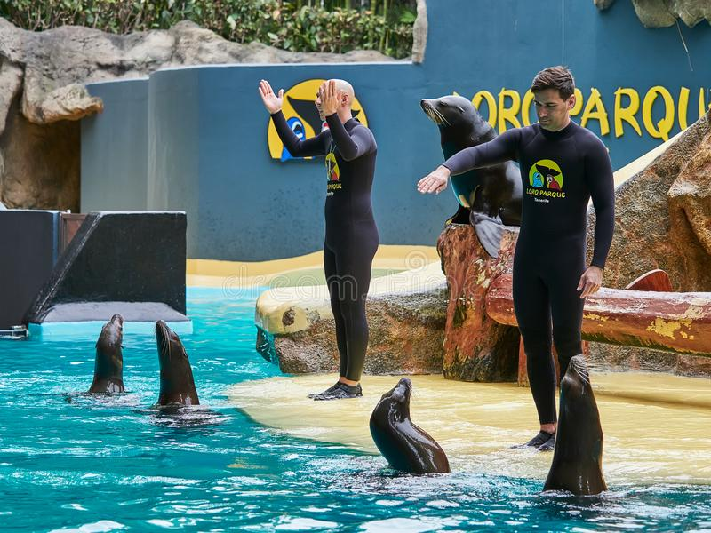 Tenerife, SPAIN - FEBRUARY 3, 2019: Sea lions show at the Loro Park Loro Parque, Tenerife. Tenerife, SPAIN - FEBRUARY 3, 2019: Sea lions show at the Loro Park royalty free stock photos
