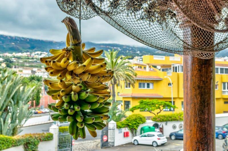 Teneriffa, Kanarische Inseln - 10. Juli 2019: Szene mit selektivem Fokus eines Bündels des Bananenbündels hängend an der Stange u lizenzfreie stockfotografie