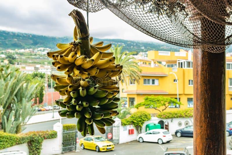 Teneriffa, Kanarische Inseln - 10. Juli 2019: Szene mit selektivem Fokus eines Bündels des Bananenbündels hängend an der Stange u lizenzfreie stockfotos