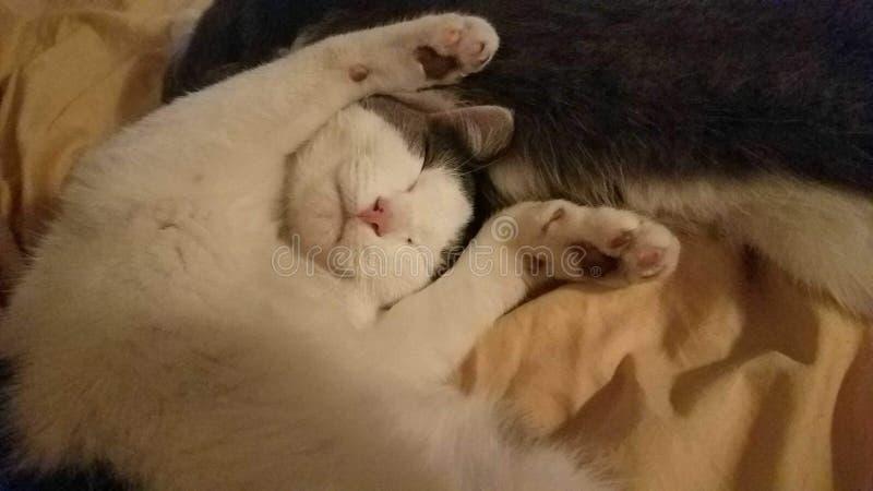 Teneur en félin dormant photos libres de droits