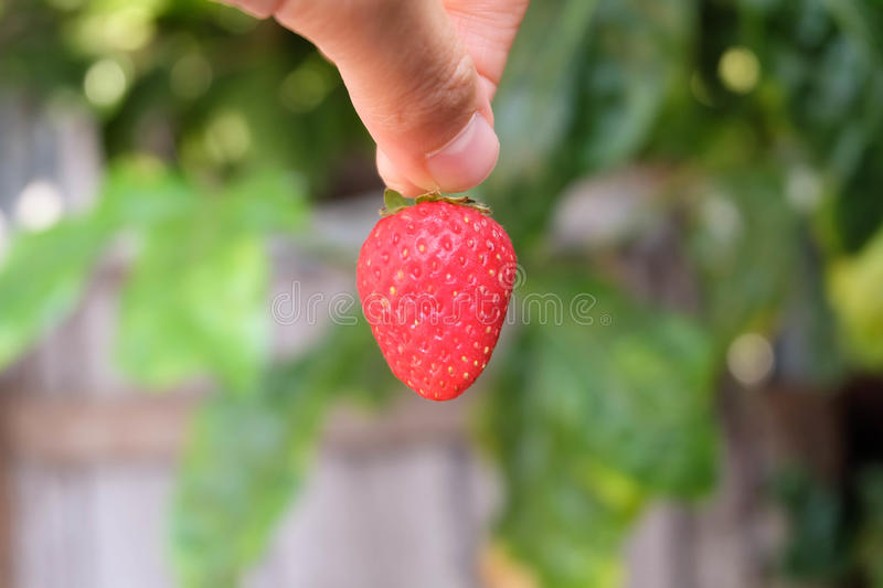 Tenir une fraise photo stock