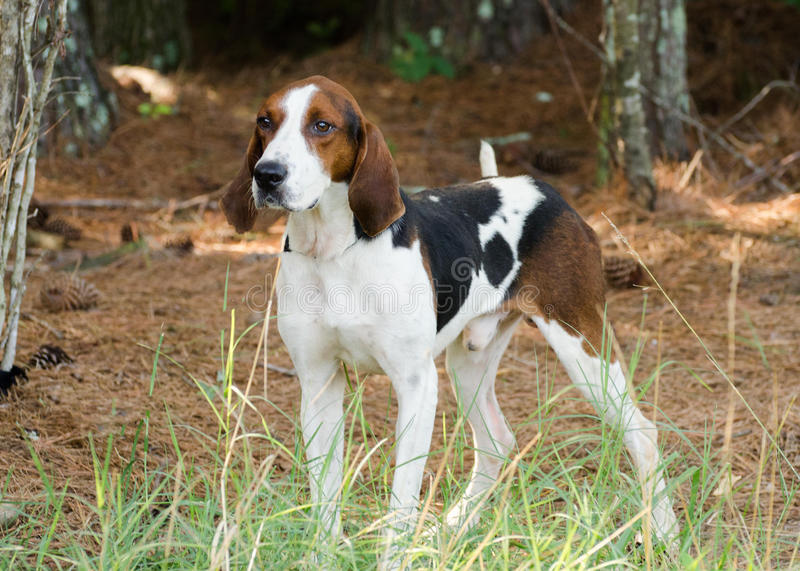 Tennesee Treeing Walker Coonhound. Walton County Animal Control, humane society adoption photo, outdoor pet photography royalty free stock photos