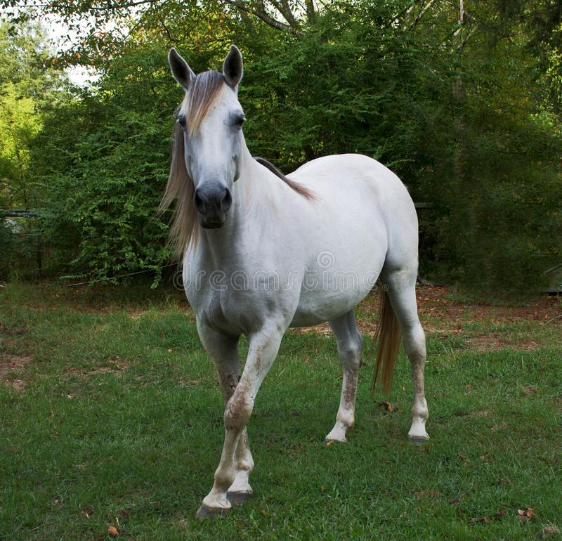 Tennessee Walking Horse photos stock