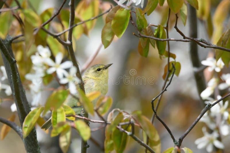 Tennessee Warbler in blühendem Serviceberry stockfotografie