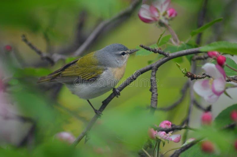 Tennessee Warbler hockte unter Apfelblüten lizenzfreies stockfoto