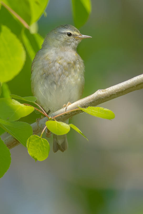 Tennessee Warbler. Perched on a branch stock photography
