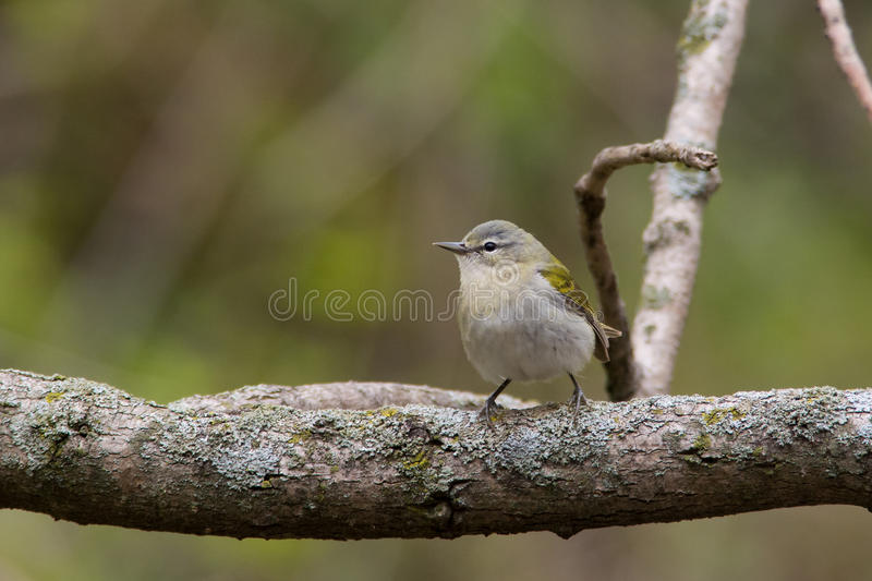Tennessee Warbler. Perched on a branch during spring migration royalty free stock photos