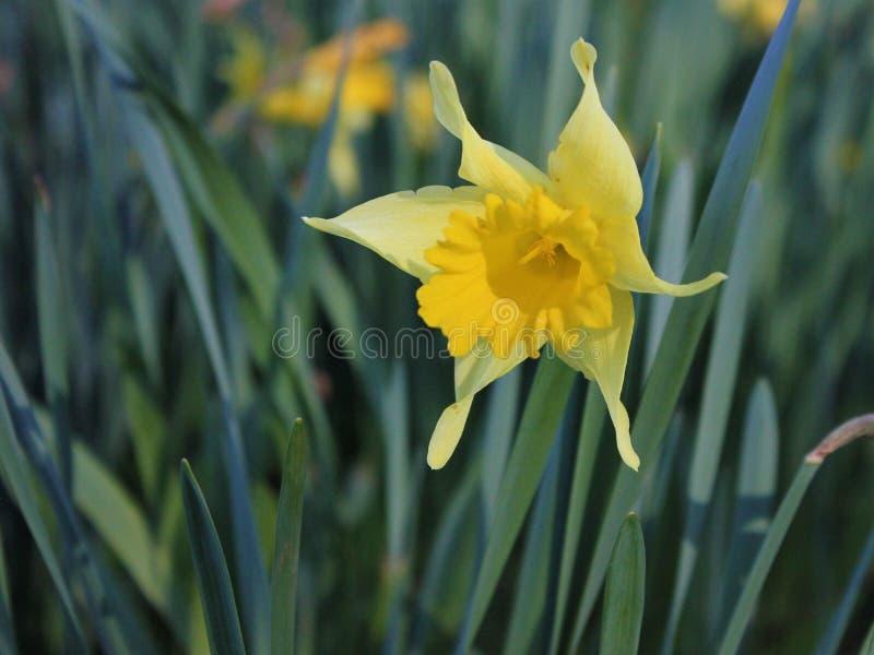 Tennessee Yellow Daffodil Flower stock afbeeldingen