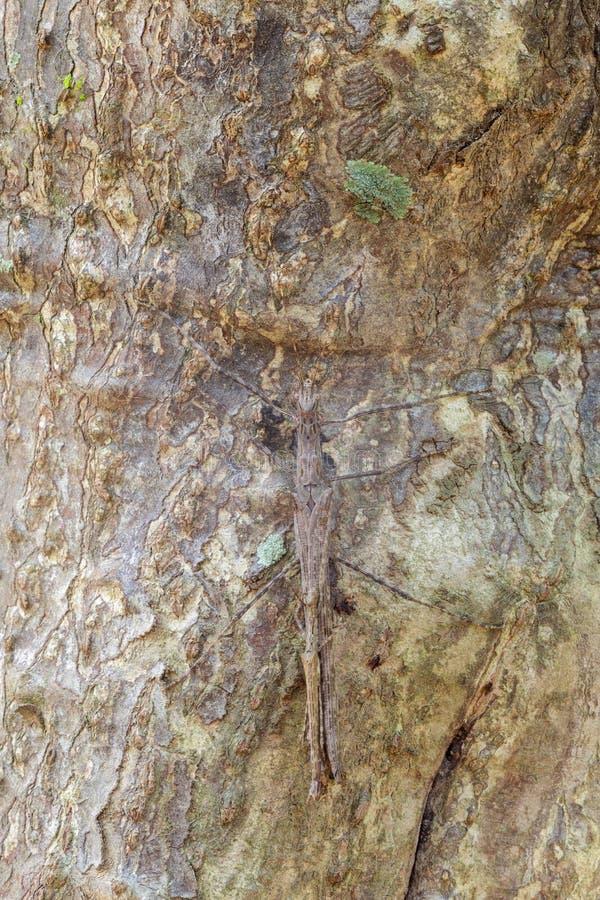 Tenodera Pinapavonis est camouflage images libres de droits