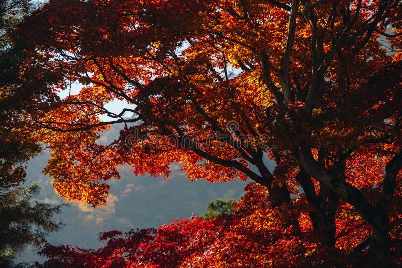 Tenryu-ji świątynia i Sogenchi ogród z jesienią przyprawiamy kolorowego obrazy stock