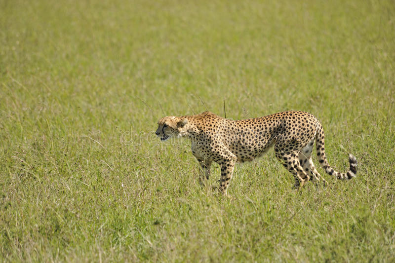 Download Tense stock photo. Image of kenya, wild, teeth, carnivore - 28940292